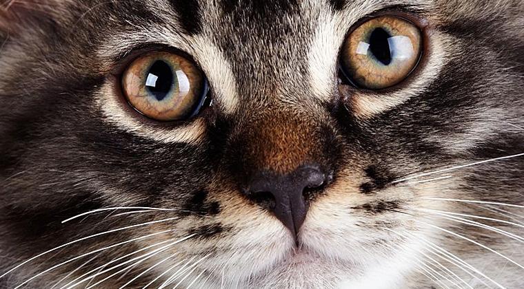 raffavet.it - malattie virali del gatto